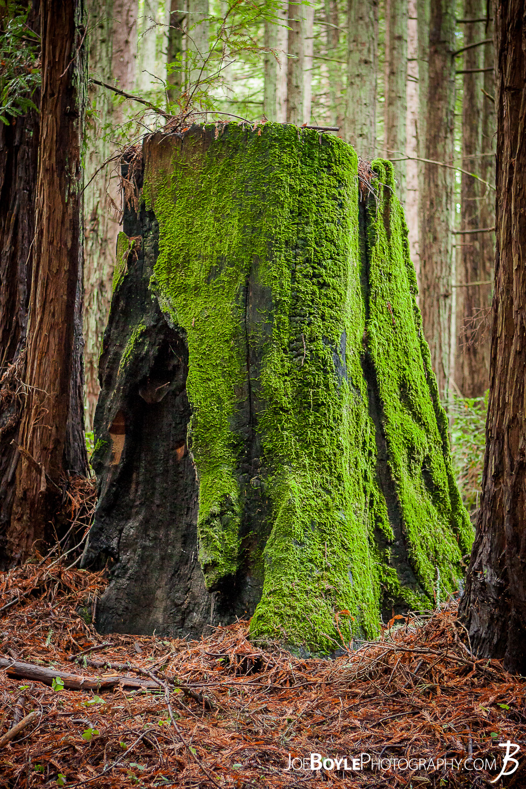 When I was traveling to California I made a stop at University of California, Santa Cruz. The campus amazed me as it was tucked into a beautiful forest on the side of small mountain. It was very cool! Here is an image along one of the paths you would travel on to class. A neat looking, old tree stump with vibrant moss growing on it!