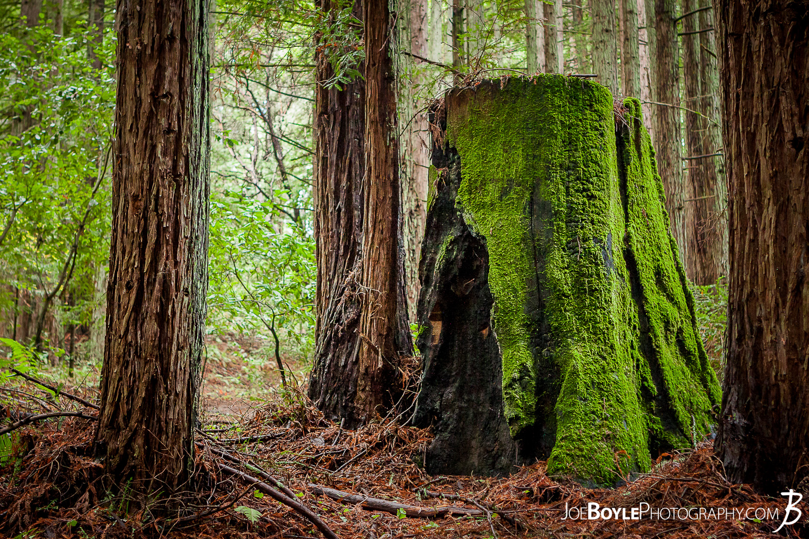 When I was traveling to California I made a stop at University of California, Santa Cruz. The campus amazed me as it was tucked into a beautiful forest on the side of small mountain. It was very cool! Here is an image along one of the paths you would travel on to class. neat looking, old tree stump with vibrant moss growing on it along the trail!