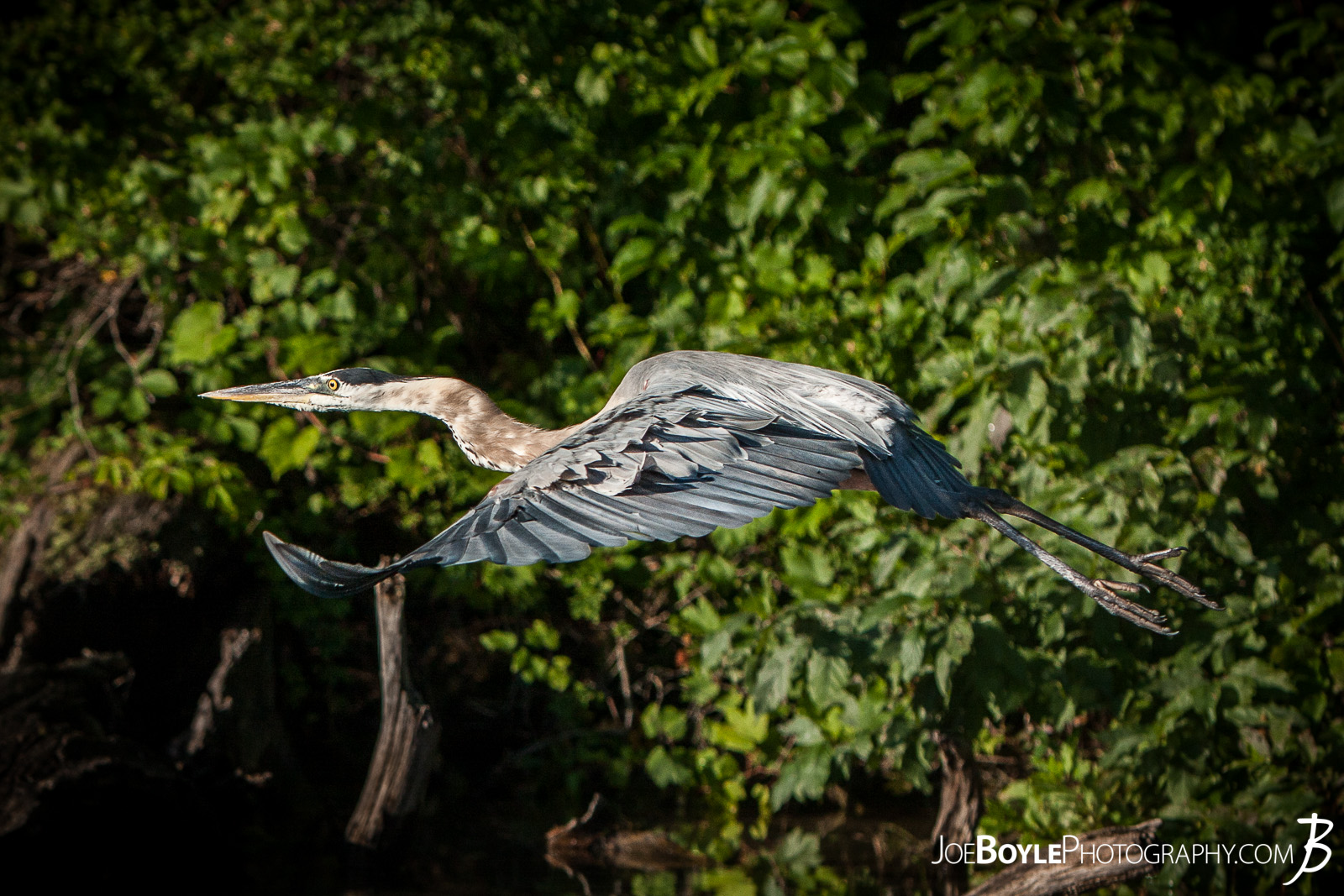 While on a trip up to Big Bass Lake, Michigan spending time with friends, fishing, having bonfires and what not, I was able to capture this Heron taking off and in flight!