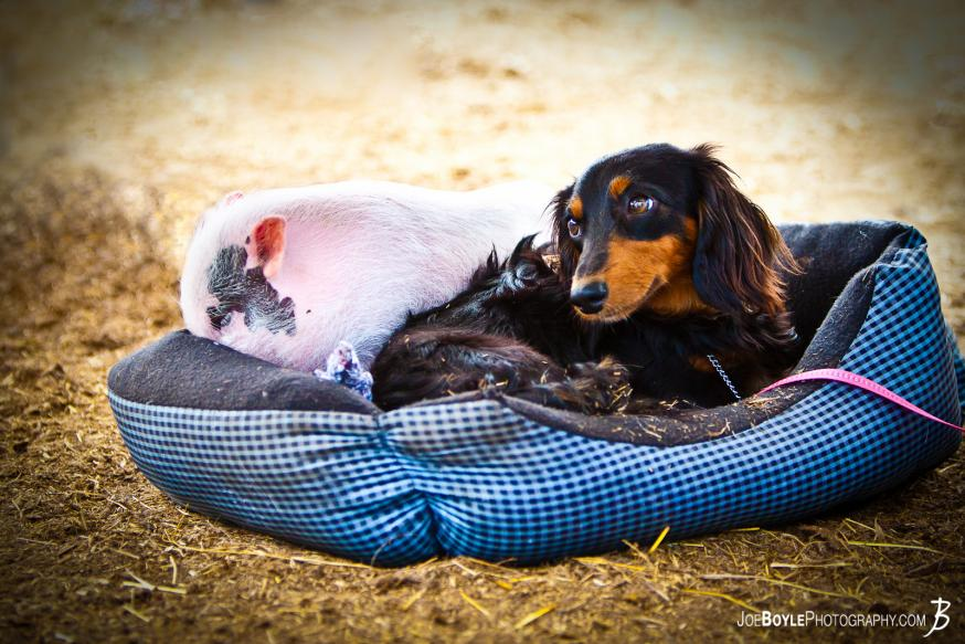 While at a farm I was able to capture a dog and pig lying together!