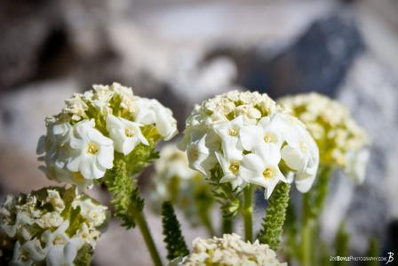 white-flowers-on-the-jmt