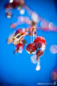 tree-berries-covered-in-ice