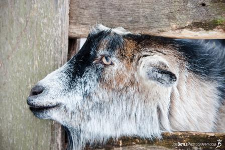 friendly-goat-ii
