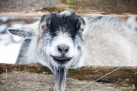 friendly-goat