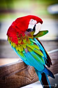 macaw-parrot-preening-itself-feathers-up
