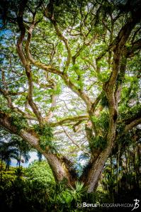 whimsical-tree-in-hawaii