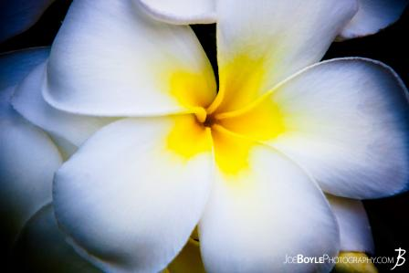 hawaii-flower-plumeria