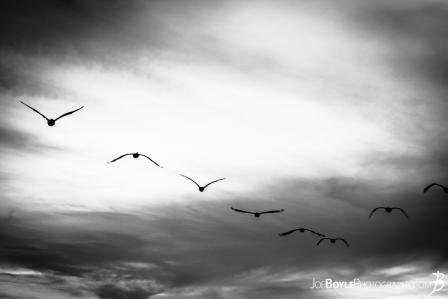 herons-in-the-sky-black-white