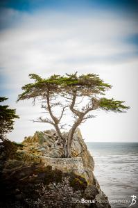 the-lonely-cypress-portrait-color
