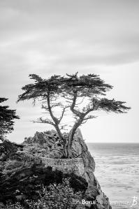 the-lonely-cypress-portrait-bw