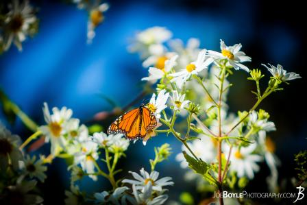 butterfly-on-white-daisies