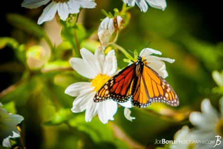 butterfly-on-white-daisies-ii