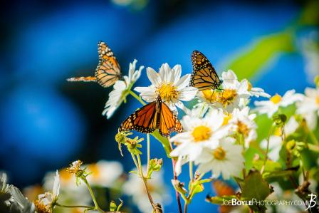 butterflies-on-white-daisies