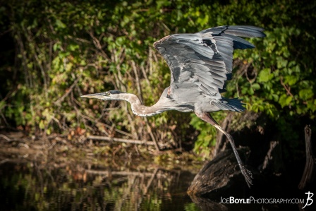 heron-taking-off-for-flight-ii