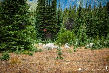 goat-herd-on-the-wonderland-trail
