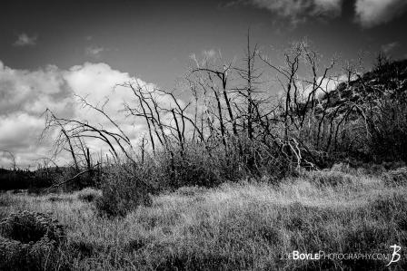 gnarly-withered-surreal-cool-looking-trees-ii-black-white