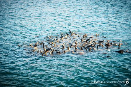 school-harem-of-sea-lions-at-monterey-california