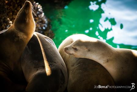 closeup-of-sea-lions-resting