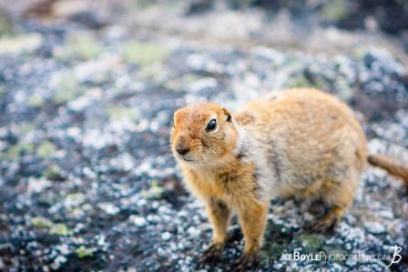 wildlife-squirrel-on-the-kesugi-ridge-trail-alaska