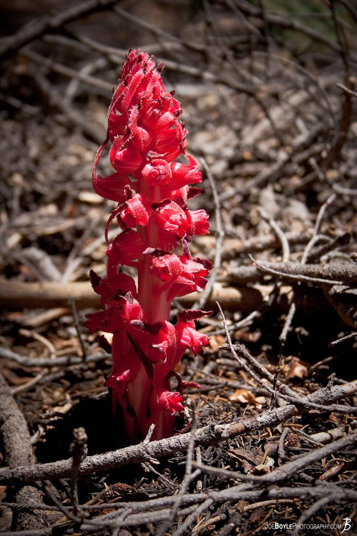 red-plant-on-the-john-muir-trail