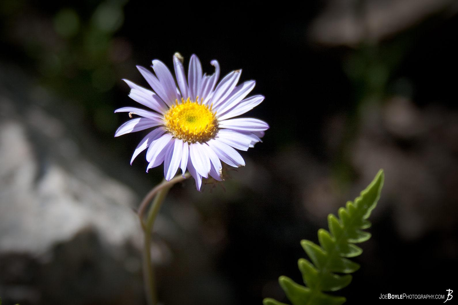 purple-flower-on-the-jmt