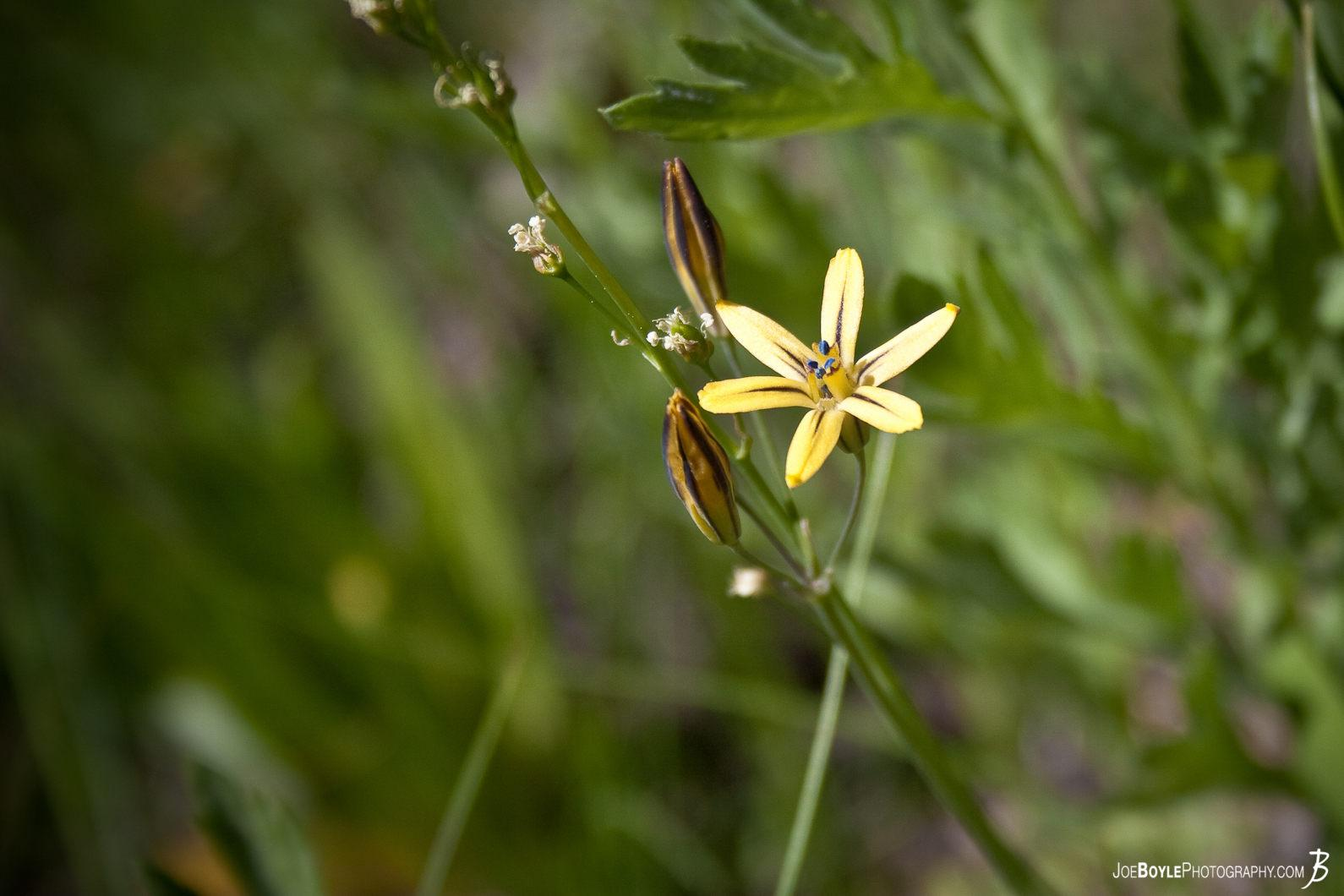 yellow-flower-on-the-jmt