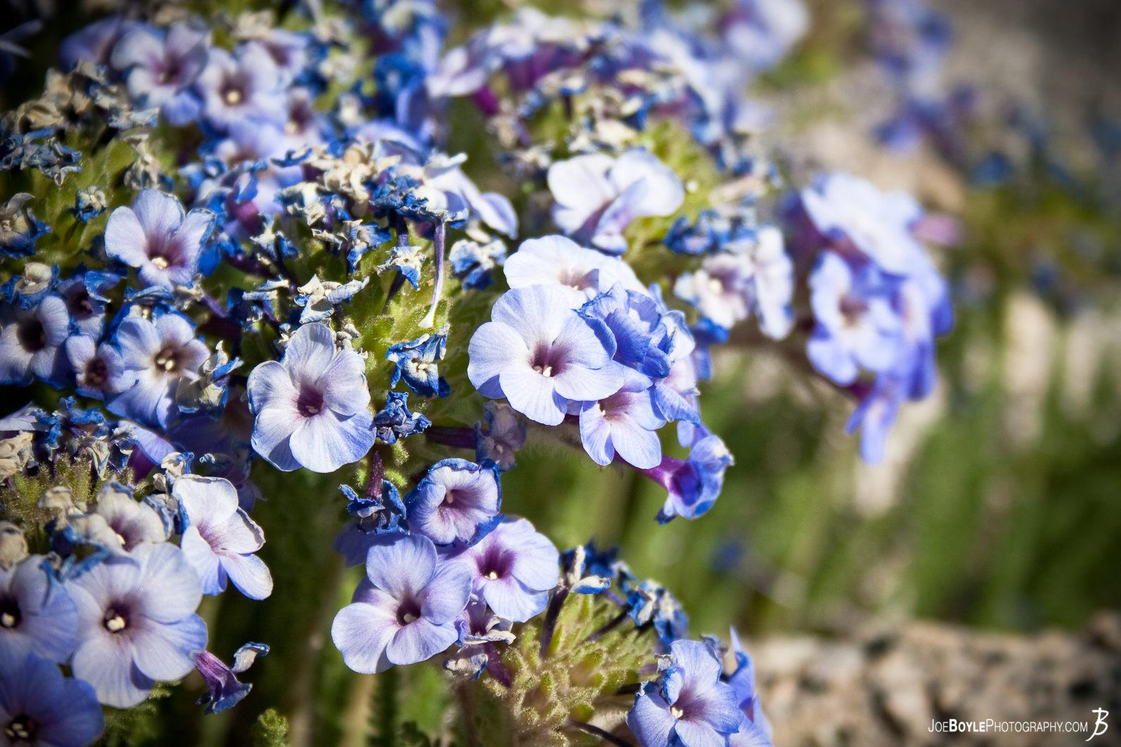 a-multitude-of-purple-flowers