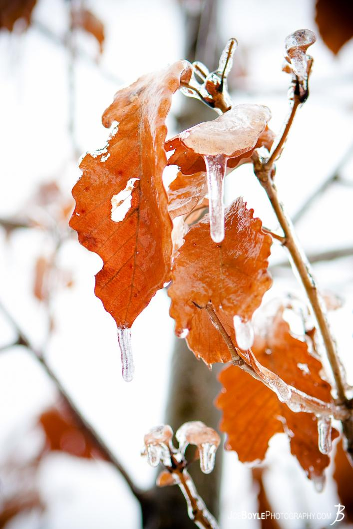 leaves-with-icicles
