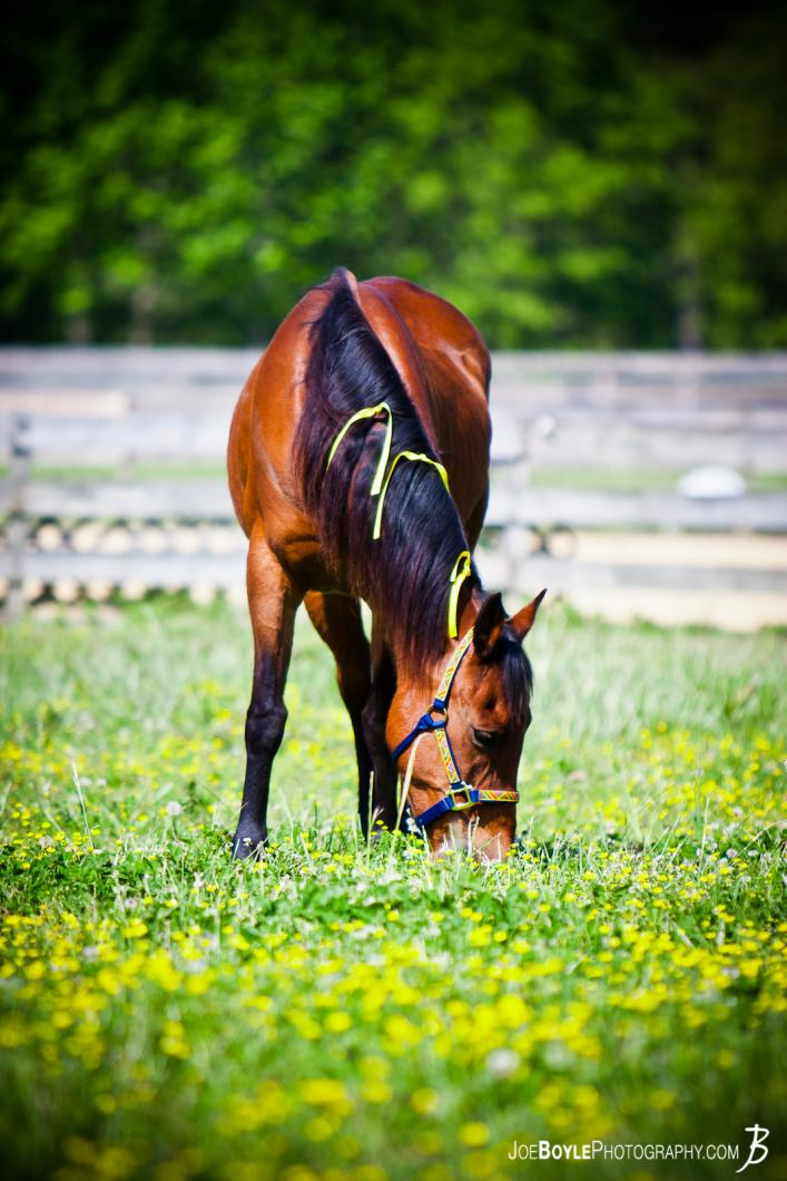 horse-eating-in-a-green-field-portrait