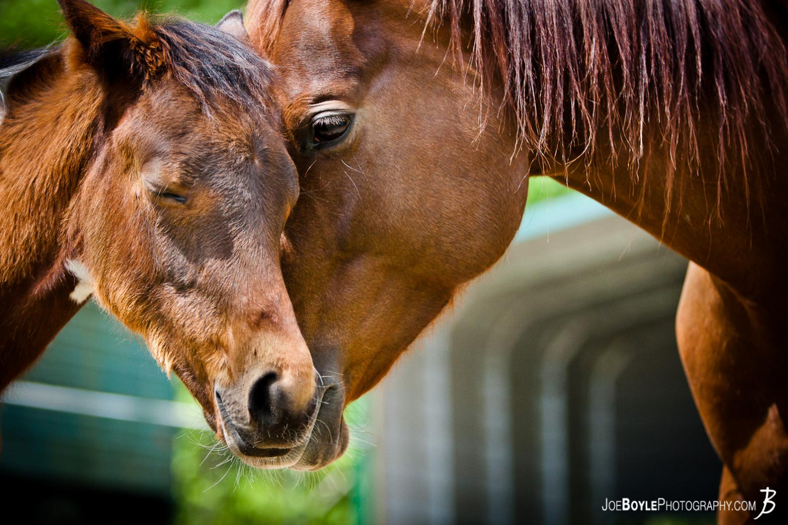 momma-horse-embraces-her-colt