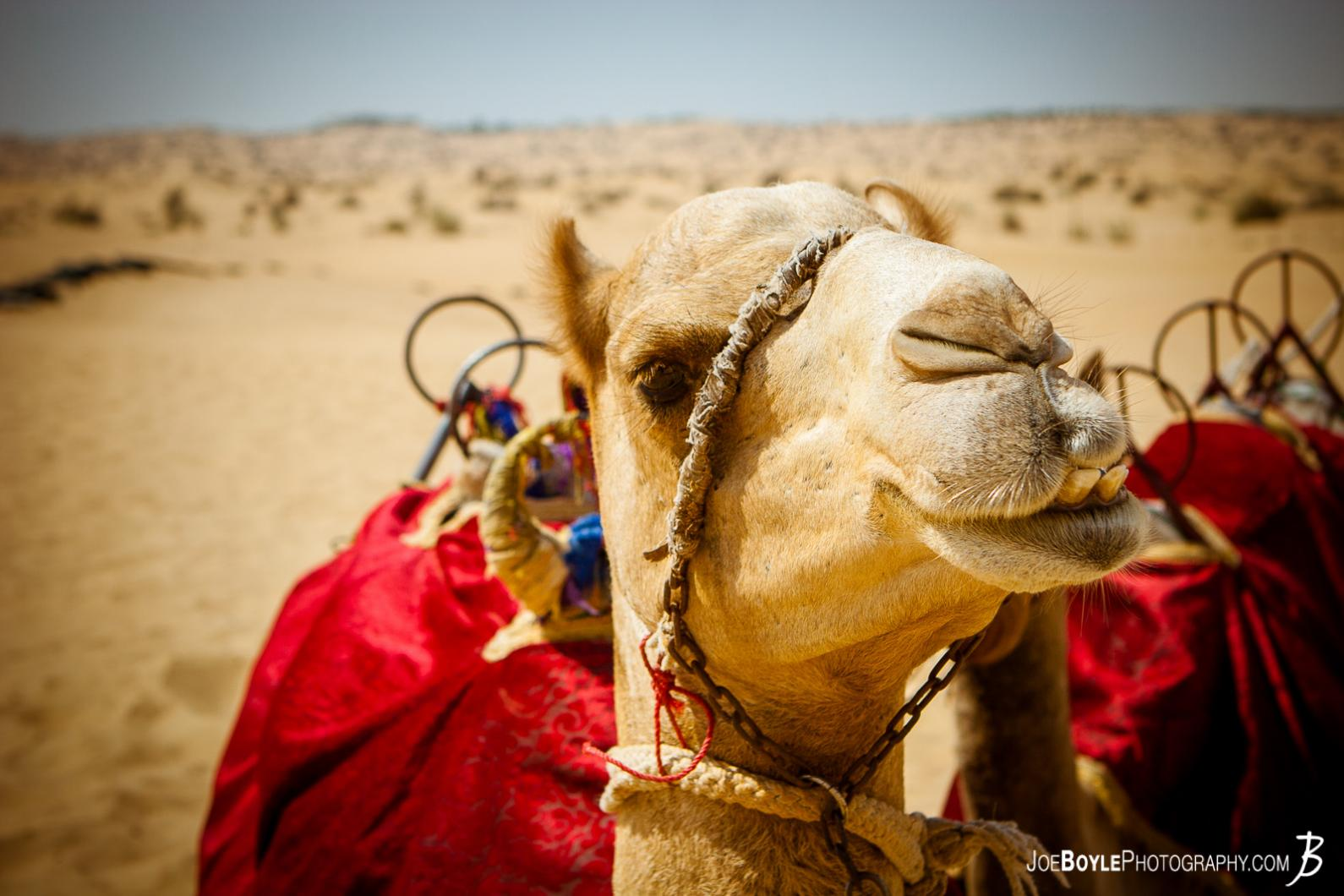 camel-in-dubai-with-saddle
