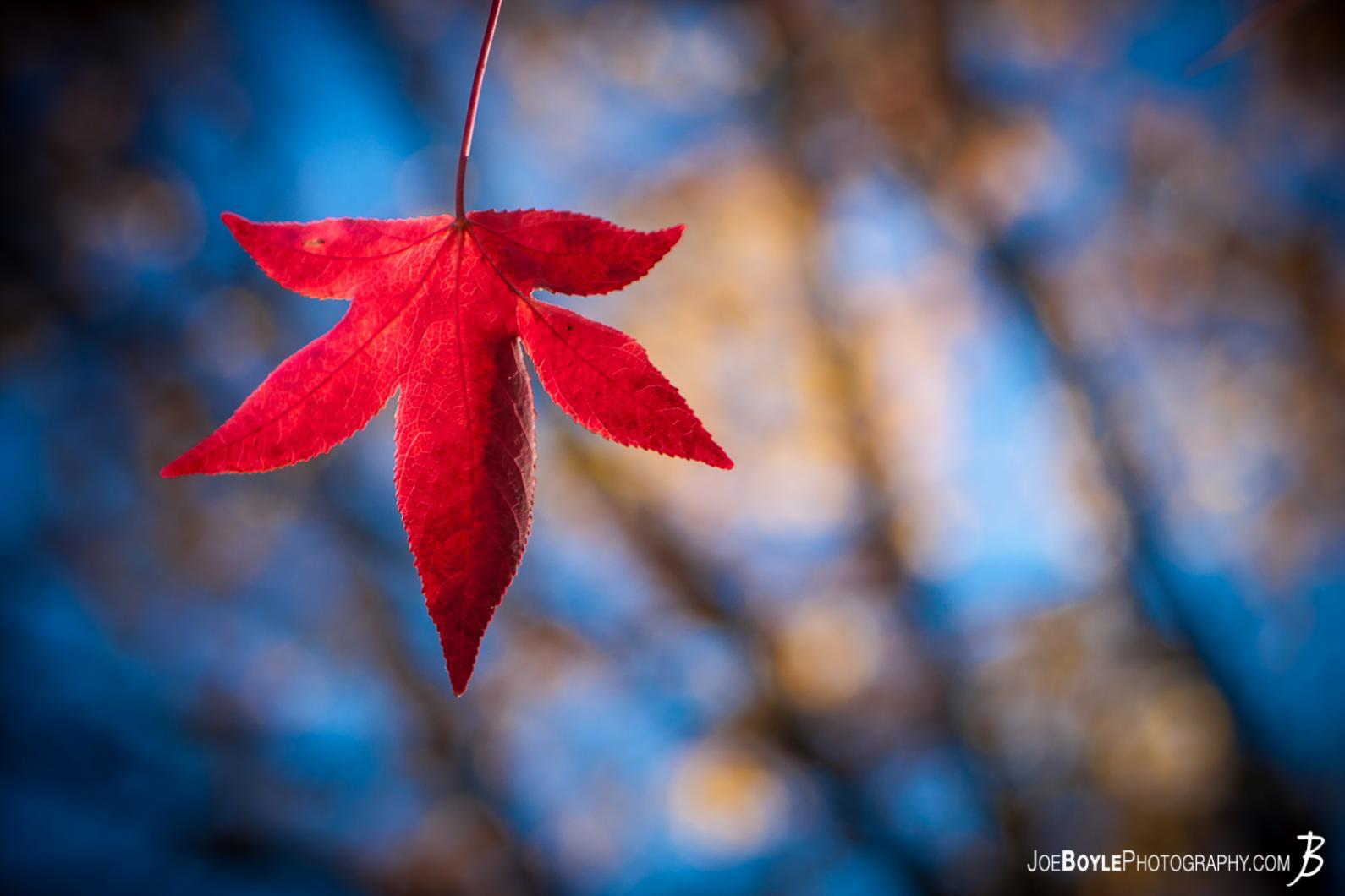 Buy u0026quot;Red Fall (Autumn) Leafu0026quot; Photo - Print Options