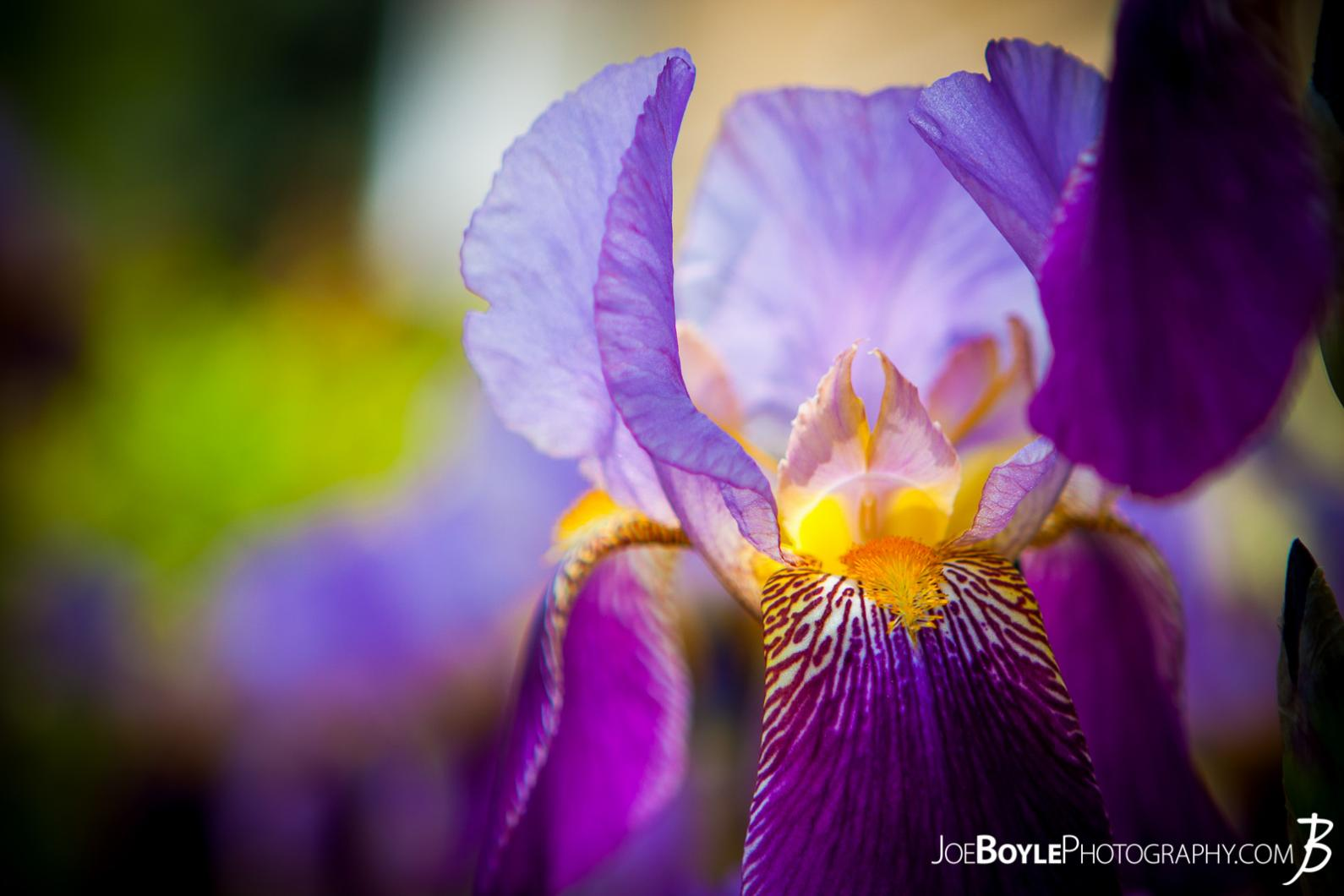 "Buy ""Flowers Bearded Iris"" Print Options"
