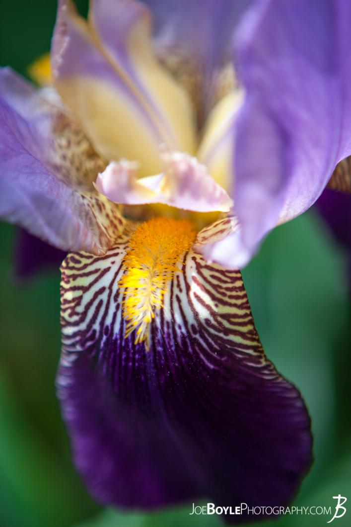 flowers-bearded-iris-ii