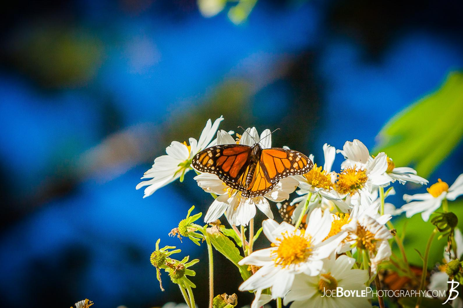 butterfly-on-white-daisies-iii