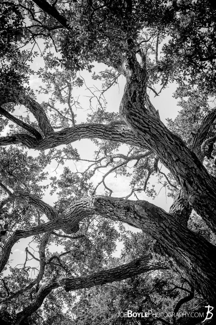 whimsical-tree-in-virginia-black-white