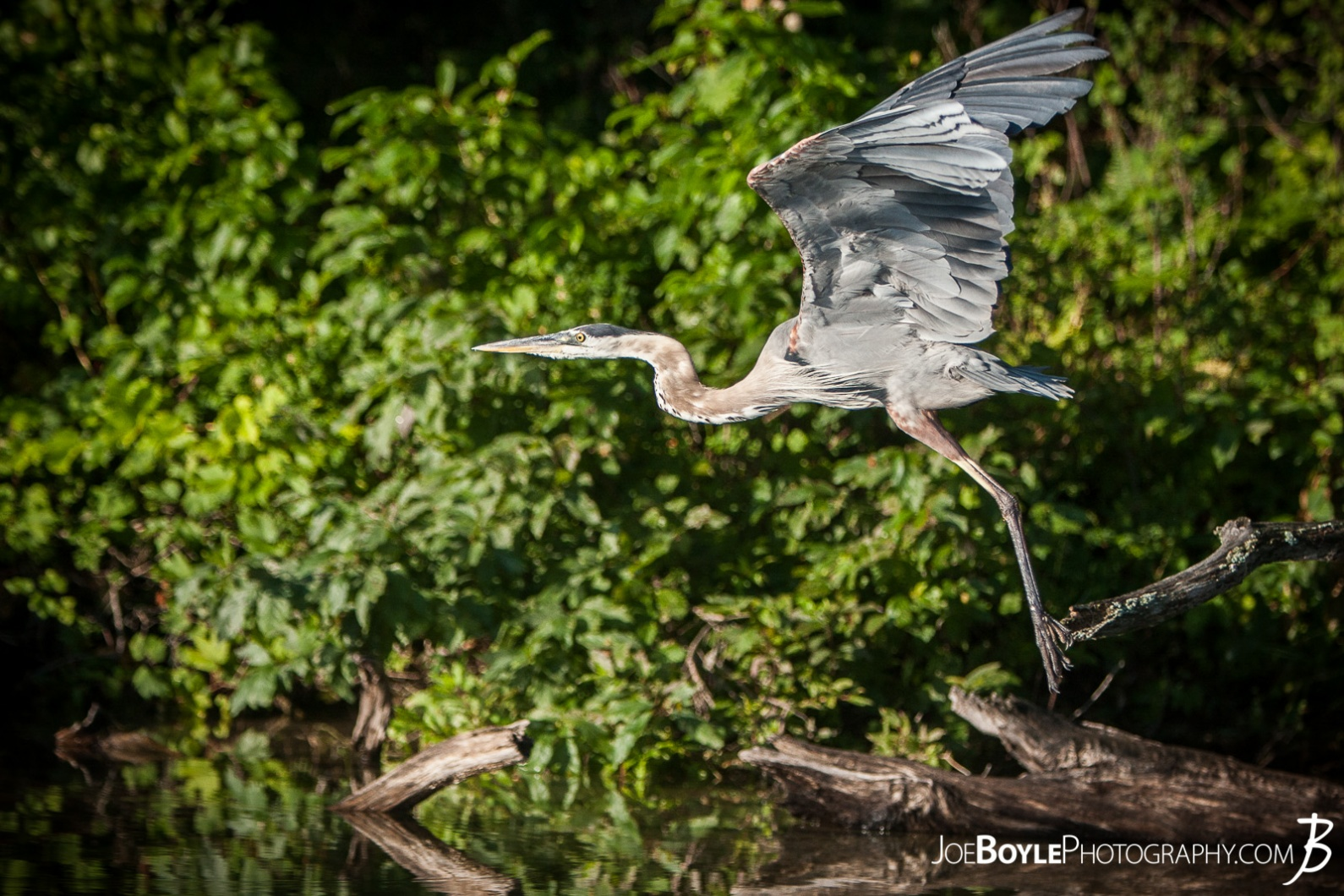 heron-taking-off-for-flight