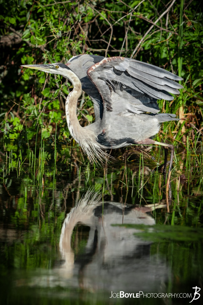 heron-taking-off-for-flight-with-lake-reflection