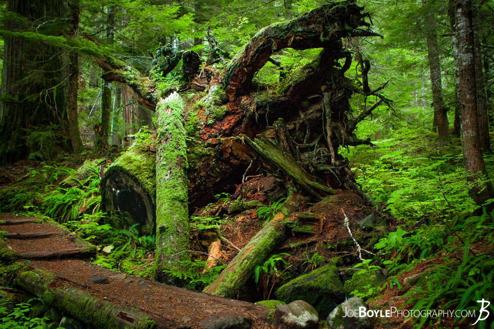 tree-stump-and-moss-on-the-wonderland-trail