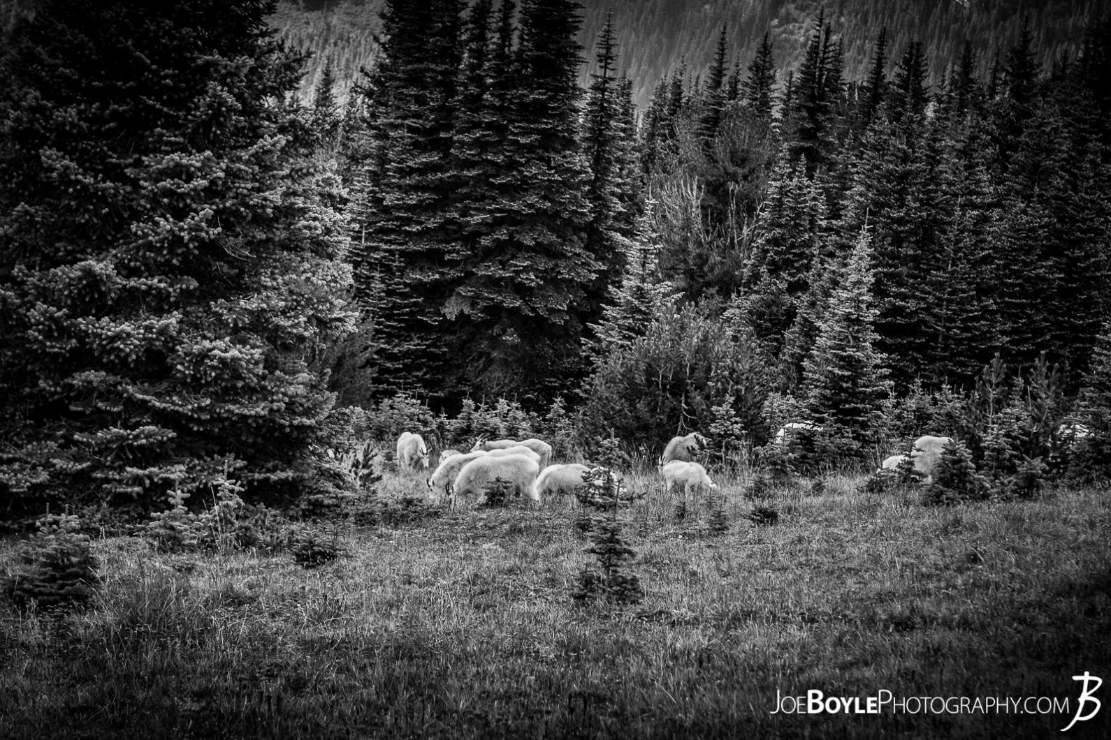 goat-herd-on-the-wonderland-trail-black-white