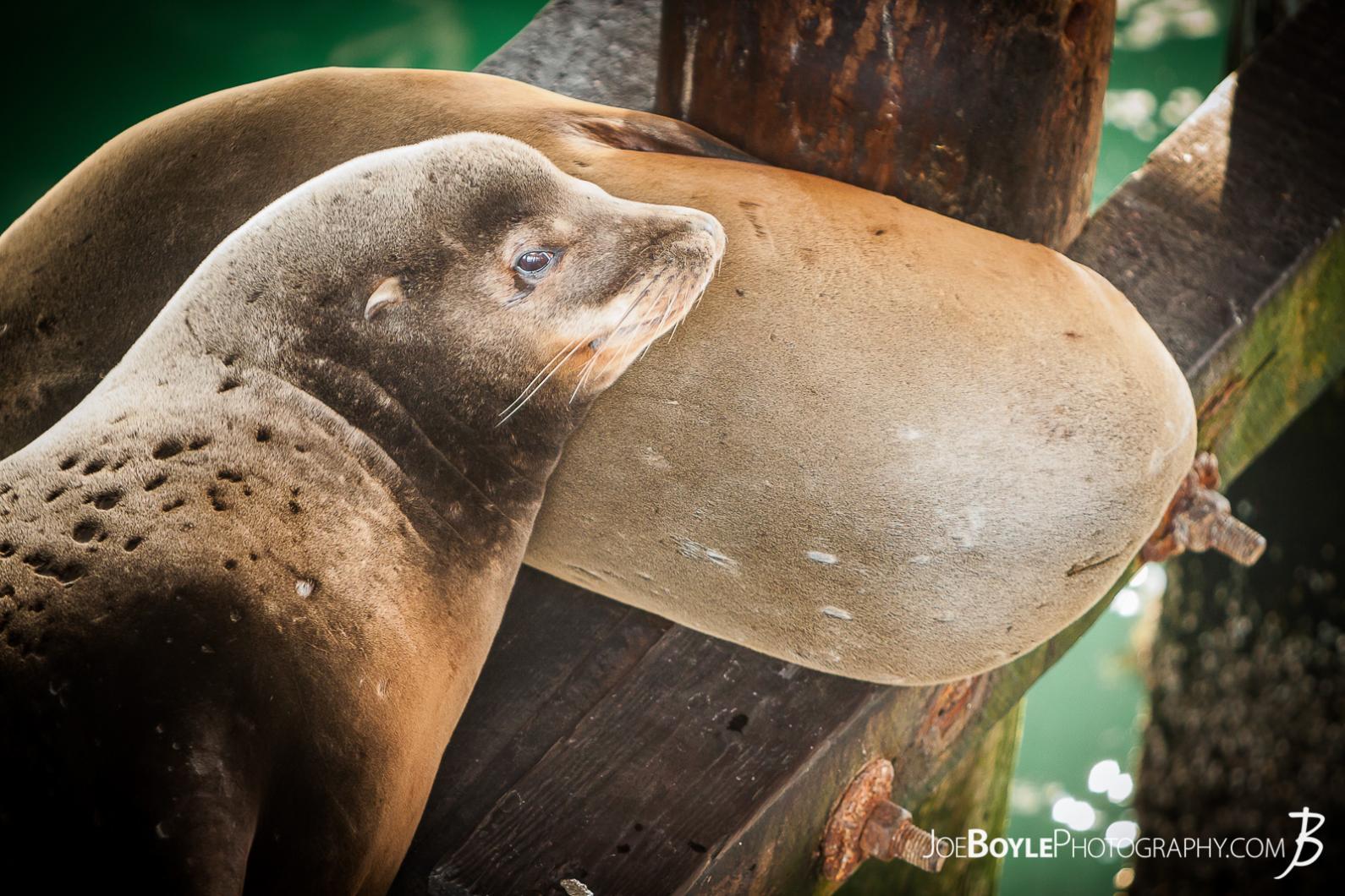 sea-lions-at-rest-one-eye-open