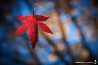 fall-autumn-tree-red-leaf